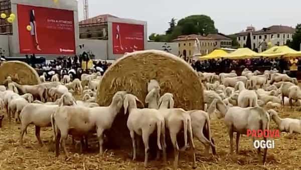 Il giorno della transumanza: Prato della Valle invaso da mille pecore
