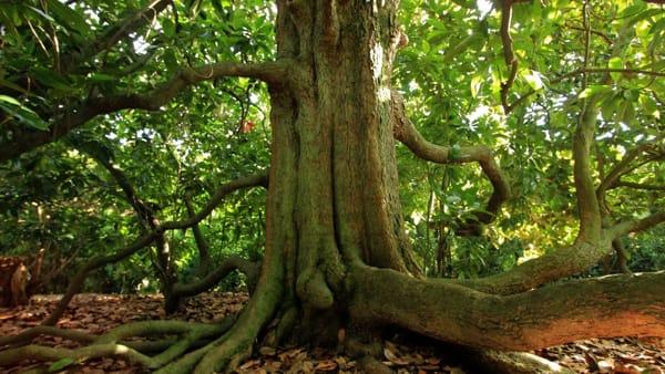 Magnolia secolare-2