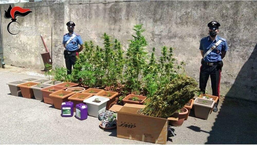 Coltivava in casa più di 100 piante di cannabis per poi spacciare: ...